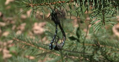 Canada Darner Dragonly Mating Ritual,Femal Hanging Beneath Male
