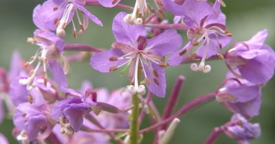 Fireweed in Bloom,Boreal Wildflower ZO to WA Plant