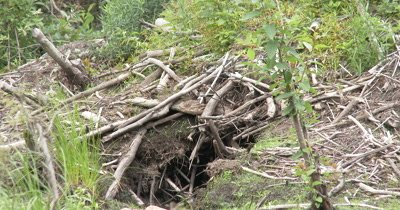 Beaver Pond,ZI to Empty,Abandoned Beaver Lodge