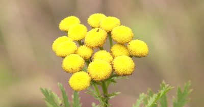 Tansy,Boreal Wildflower