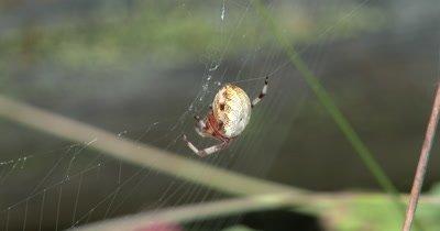 Marbled Orbweaver Spider,Hanging in Web
