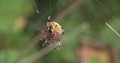 Marbled Orbweaver Spider Hanging in Web,Abdomen to Camera