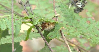 Marbled Orbweaver Spider,Feeding While Hiding Under Fern Leaf