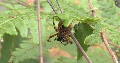 Marbled Orbweaver Spider Feeding
