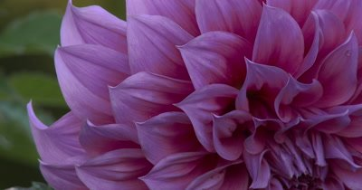 Dahlia Flower,Large Petals,Off Center of Flower