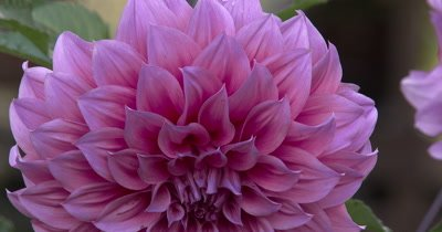 Large Dahlia Flower,Dinnerplate Dahlia