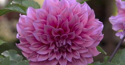 Dahlia Flower,ZI to CU Petals