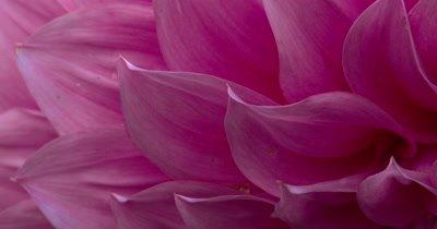 XCU Dahlia Flower Petals