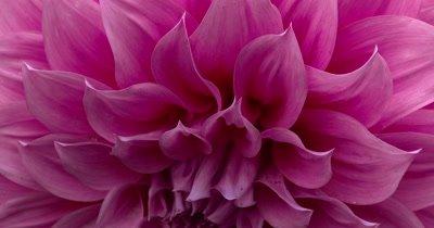 Extreme Close Up- Dahlia Flower