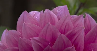 XCU Dahlia Petals,ZO to WA Flower