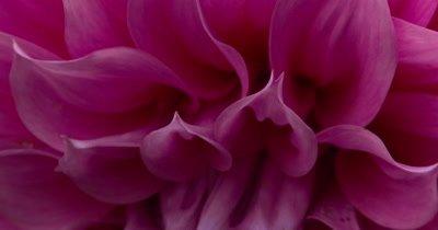Dahlia Flower Center Petals