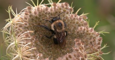 Bee Sleeping on Wild Carrot Seed Pod