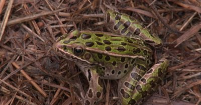 Northern Leopard Frog Sitting in Swamp Grass