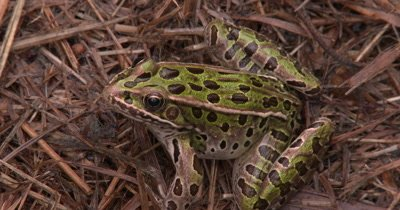Northern Leopard Frog Sitting in Swamp Grass,Exits