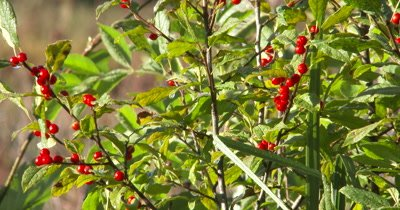 Highbush Cranberry Bush,Wild Edible Plant,Food