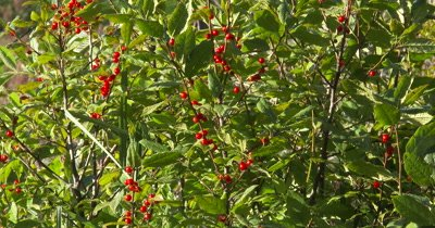 WA Highbush Cranberry Bush,Wild Edible Plant,Food