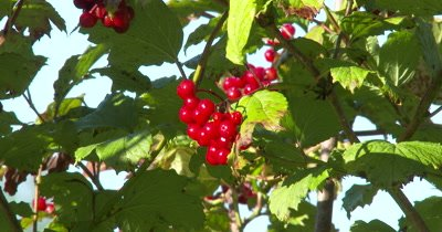 Highbush Cranberry Berries,Sparkling With Morning Dew