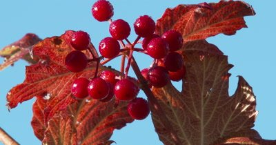 Highbush Cranberry Berries,Morning Dew,Autumn Leaves