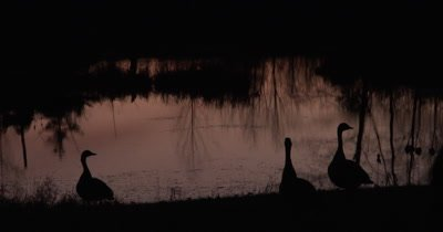 Canada Geese Silhouette Against Pond,Watching,Preparing For Flight