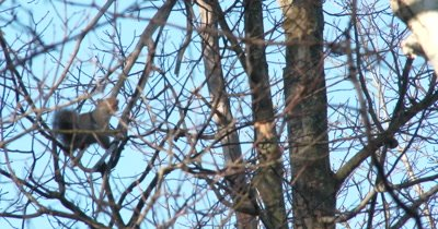 Eastern Grey Squirrrel Carrying Acorn Through Treetop