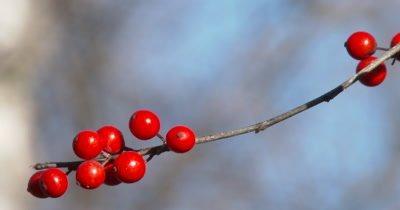 Winterberry,Michigan Holly,Close Up Berries