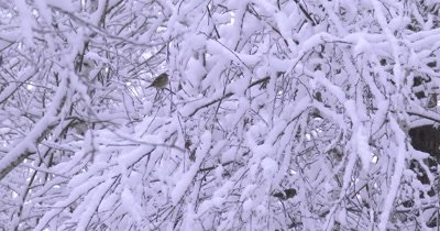 Pine Siskins,Birds Taking Shelter in Snowy Thicket,Fresh Snow