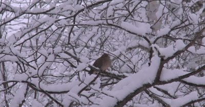 Mourning Dove Resting on Branch,New Snow Covering Trees