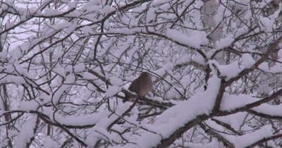 Mourning Dove Sitting on Branch,New Snow Covering Trees