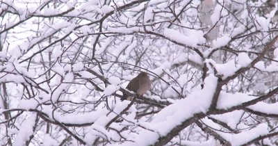 Mourning Dove Resting,Sleeping on Branch in Fresh Snow