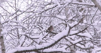 Mourning Dove Resting on Branch in Snow,ZO to WA Snow Laden Tree Scene