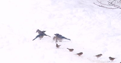 Blue Jays and Tree Sparrows,Feeding on Ground