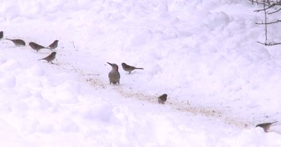 Red Bellied Woodpecker and Tree Sparrows Feeding in Snow on Ground