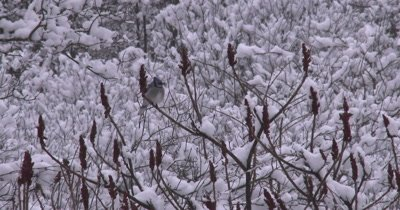 Blue Jay Sitting on Staghorn Sumac Shrub,Snow Falling
