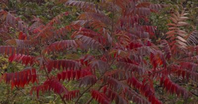 Staghorn Sumac in Autumn,Gentle Breeze,Rain Falling Softly