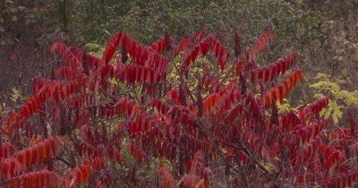 Staghorn Sumac in Autumn,Gentle Breeze,Rain Falling Softly