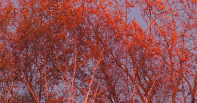 Oak Leaves in Fall,Lit by Evening Sun,Light Breeze