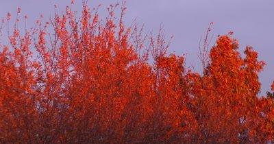 Oak Leaves in Fall,Lit by Evening Sun,Light Breeze