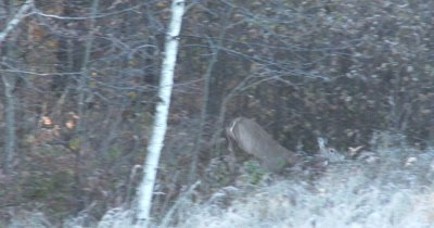 White-tailed Deer, Alert, Cautious Doe, Moves Quickly Through Underbrush, Stops, Looks At Camera