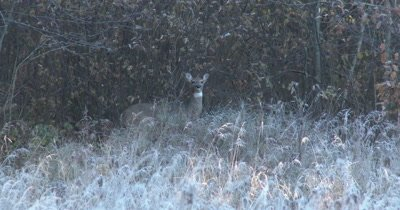Frightened White-tailed Deer Doe, Starts to Move, Stops, Stamps Foot, Quivering