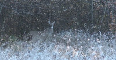 White-tailed Deer, Doe, Extremely Alert, Unblinking, Motionless
