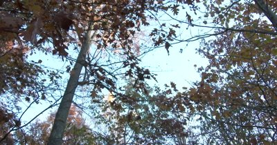 Maple Leaves Falling From Sky,View Into Tree Canopy