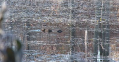 Muskrat Feeding in Pond,Turns Half Circle