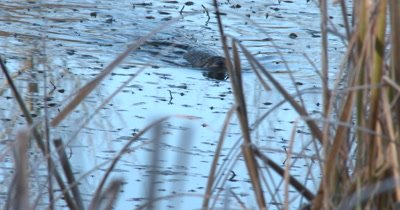 Muskrat Swimming Toward Shore,Disappears Into Reeds