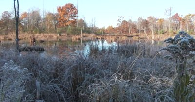 Frosted Reeds on Edge of Beaver Pond,Autumn