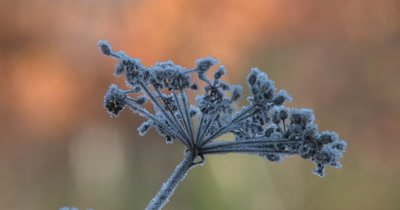 Wild Carrot,Autumn Frost
