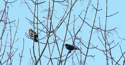 Red-winged Blackbirds in Autumn Tree,Calling,Feeding