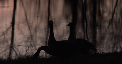 Three Canada Geese Silhouetted Against Pond,One Raises Head