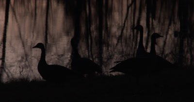 Canada Geese Showing Alarm,Silhouette Against Evening Pond