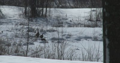 Wild Turkeys Feeding in Winter, Stripping Seeds from Plant Stems