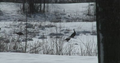 Turkeys Feeding in Winter, Stripping Seeds from Plant Stems